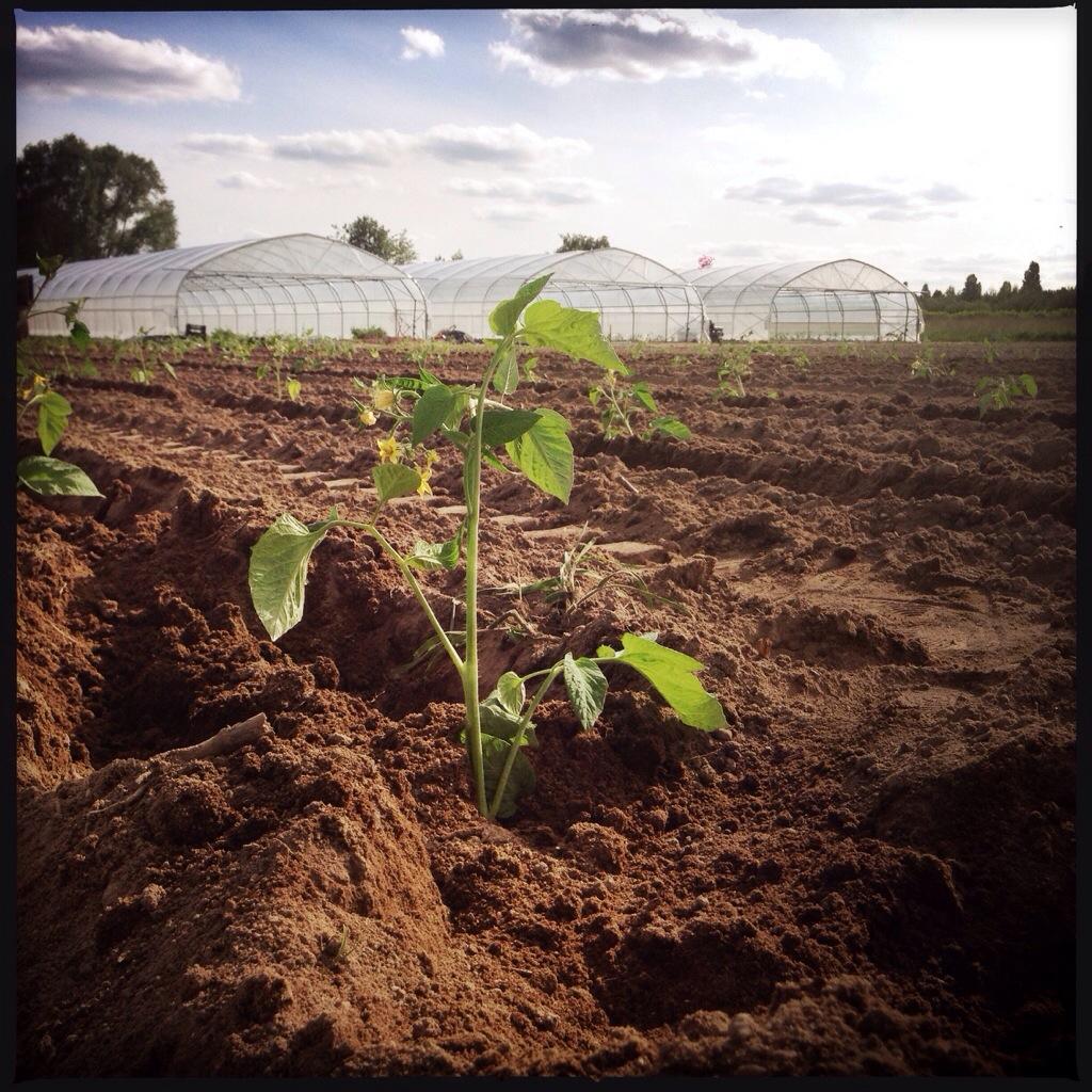 Plantation des tomates pour la production de graines le blog - Plantation de tomates ...