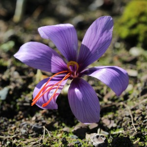 Stigmates de safran / Crocus sativus