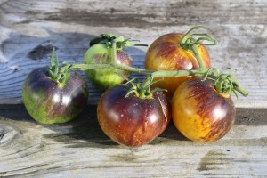 Tomate Panzy Ap - Tom Wagner