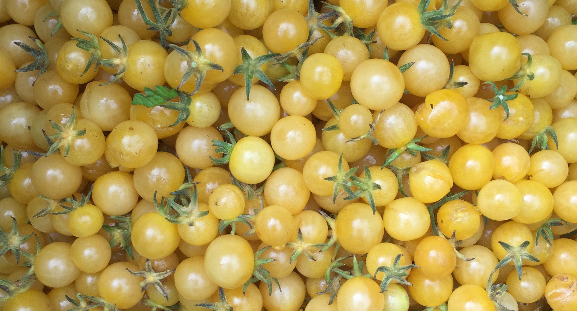 TOMATE CHAMPAGNE