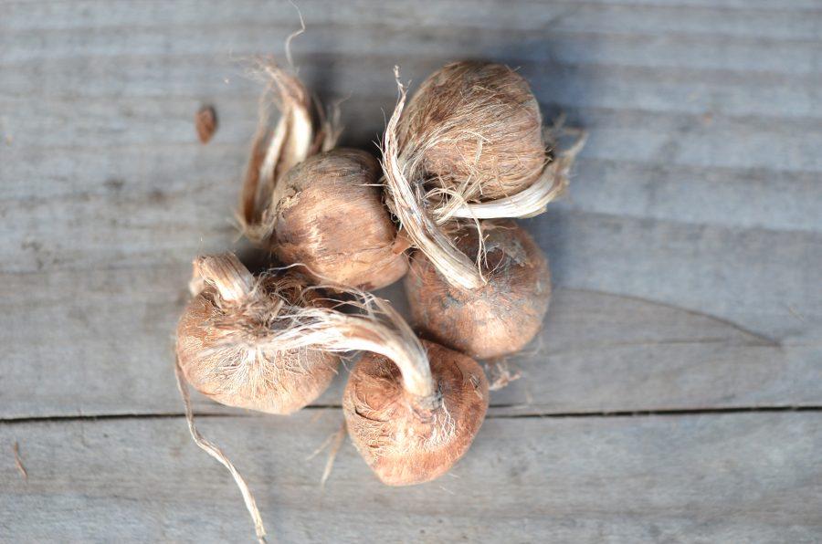 Crocus sativus safran Ferme de Sainte Marthe