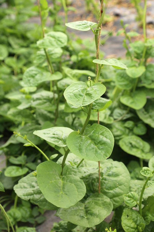 épinard de Malabar
