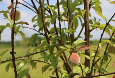 Plantez des arbres fruitiers