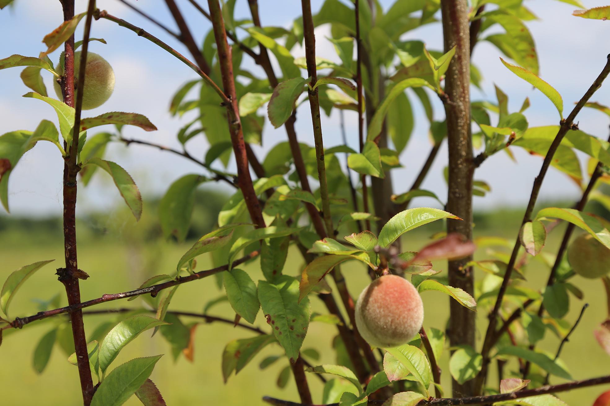 Planter des arbres fruitiers pour un jardin gourmand - Quand planter un arbre fruitier ...