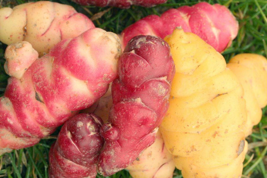 Focus sur les légumes tubercules