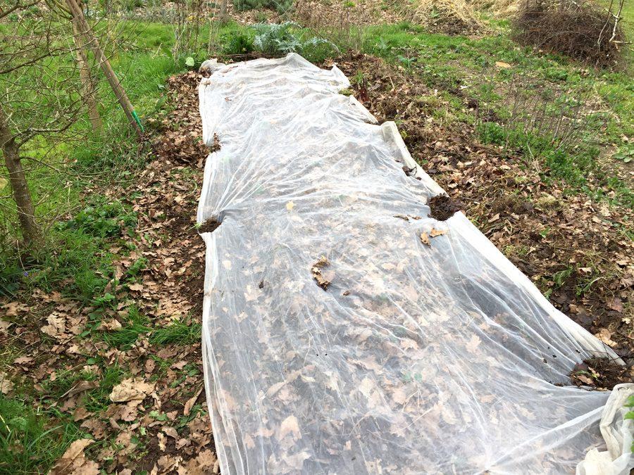 Semer les légumes racines