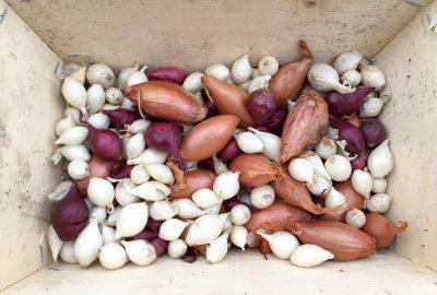 les oignons bulbilles et les échalotes