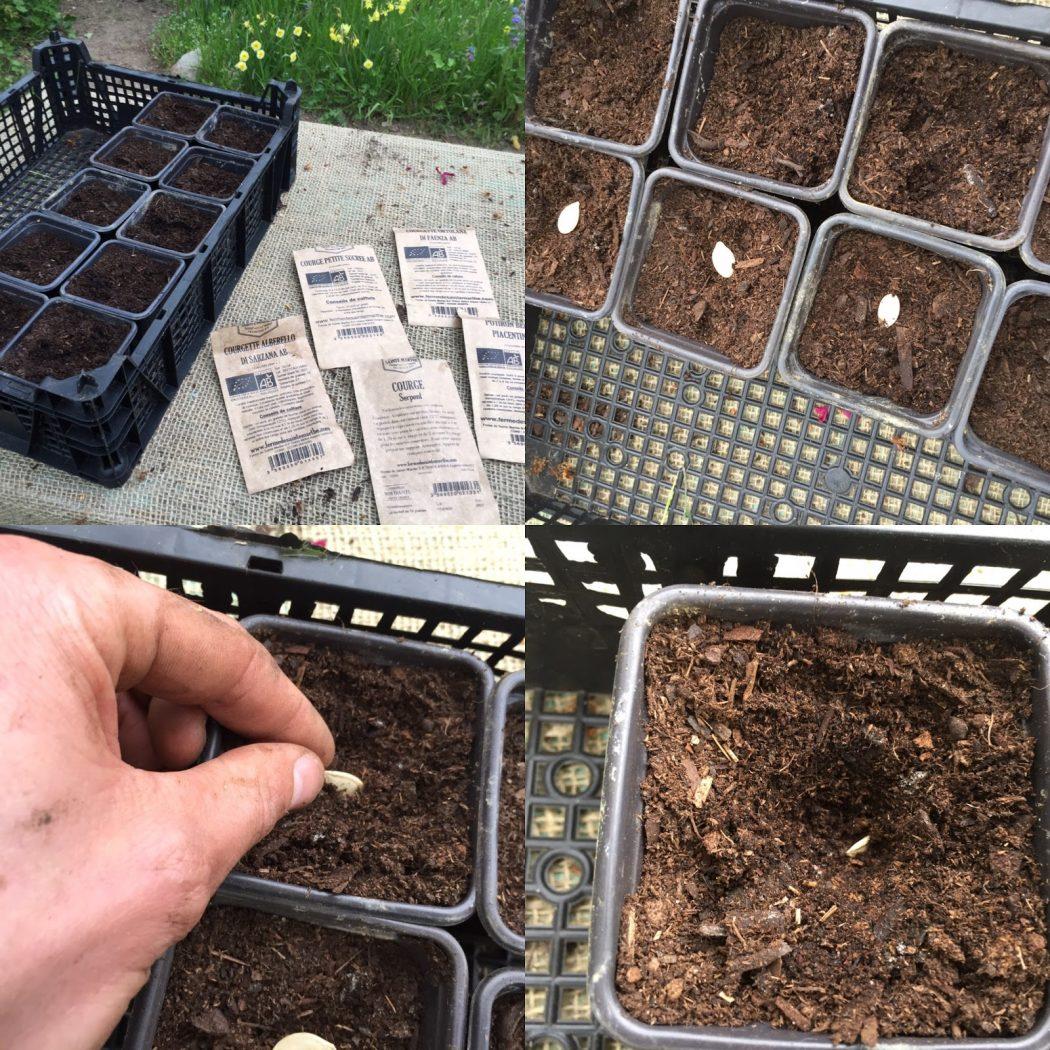 Semer des courges et courgettes