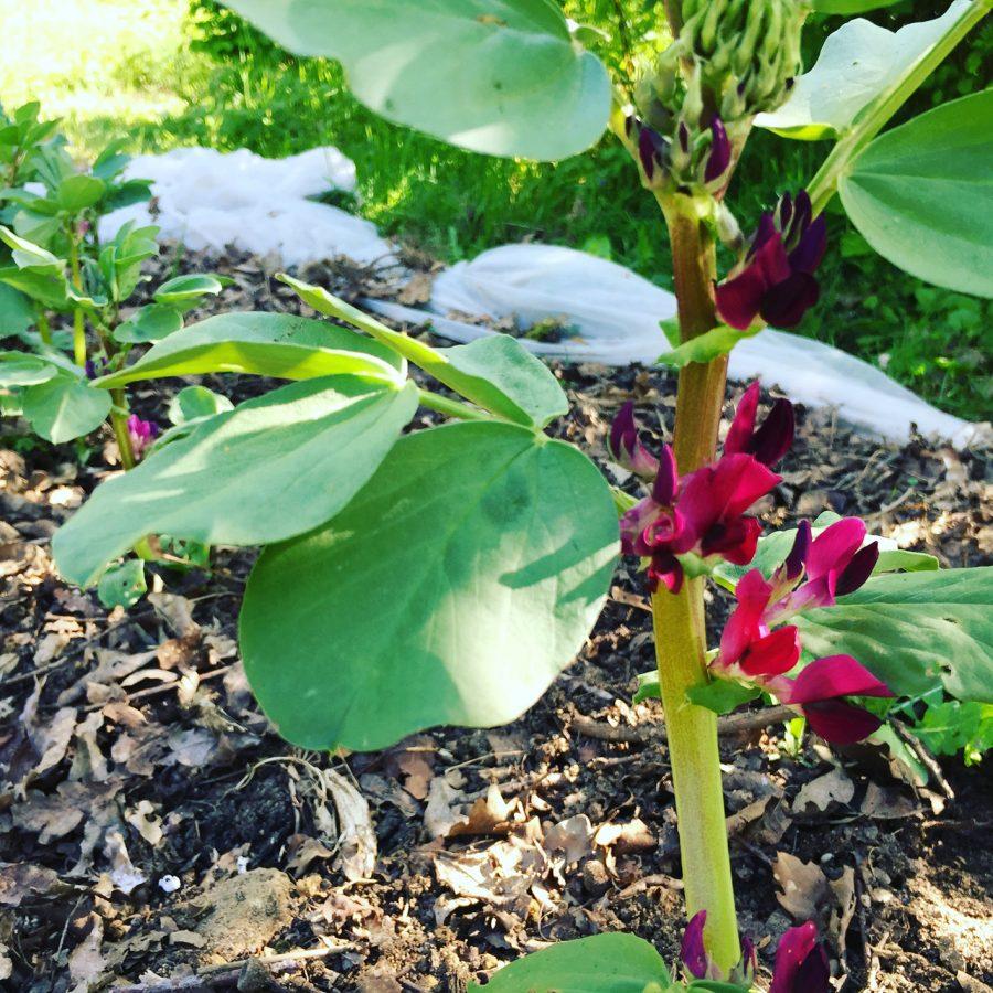 fèves en pleine floraison