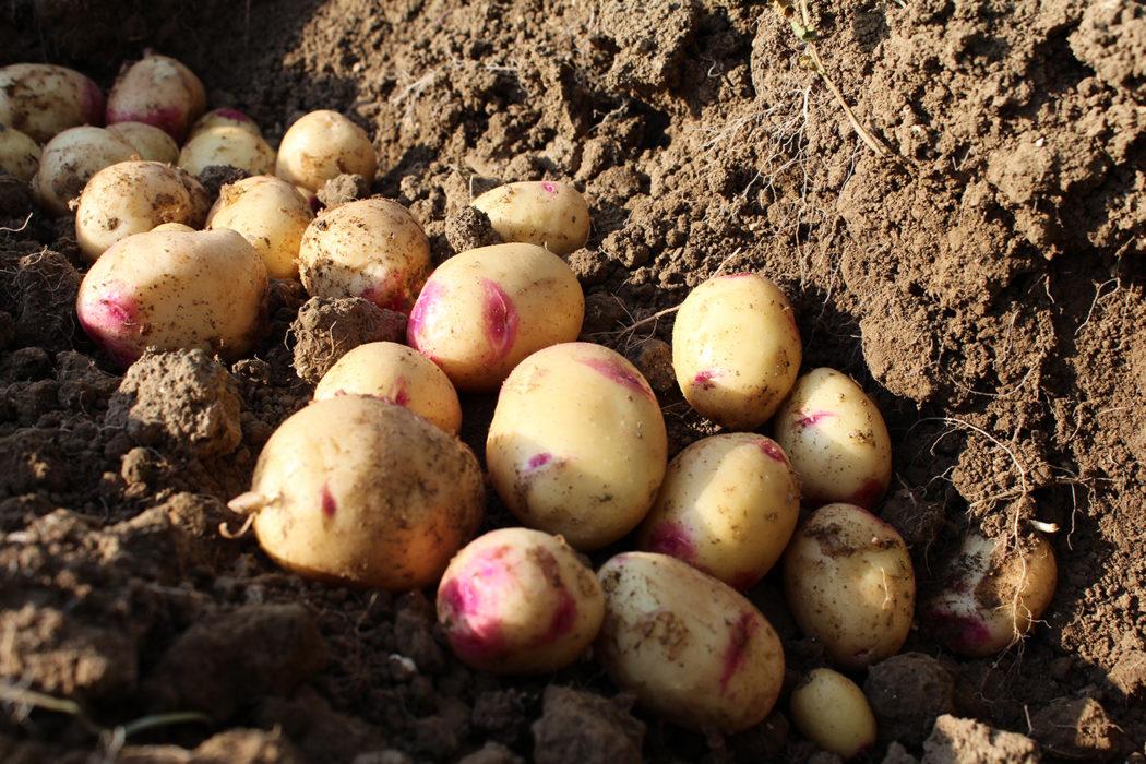 pomme de terre carolus