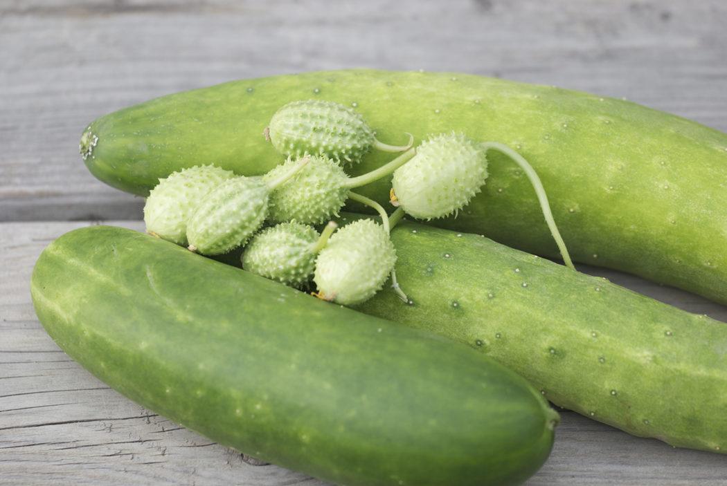 C 39 est le moment de semer concombres et cornichons le blog for Au jardin des amis