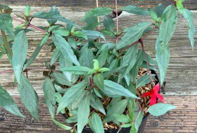 Fuchsia comestible